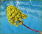 diese gelbe Blütendolde ...