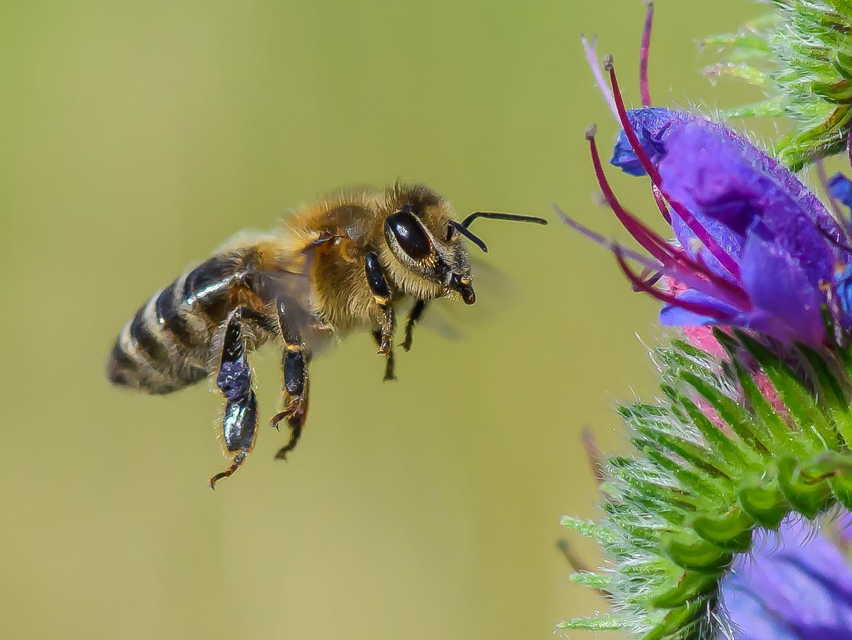 Diese Honigsammlerin...