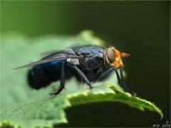 Diese hübsche Fliege ...