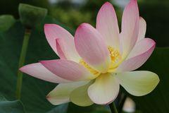 Diese Indische Lotusblume (unbearbeitet) möchte die Wochenmitte anzeigen,