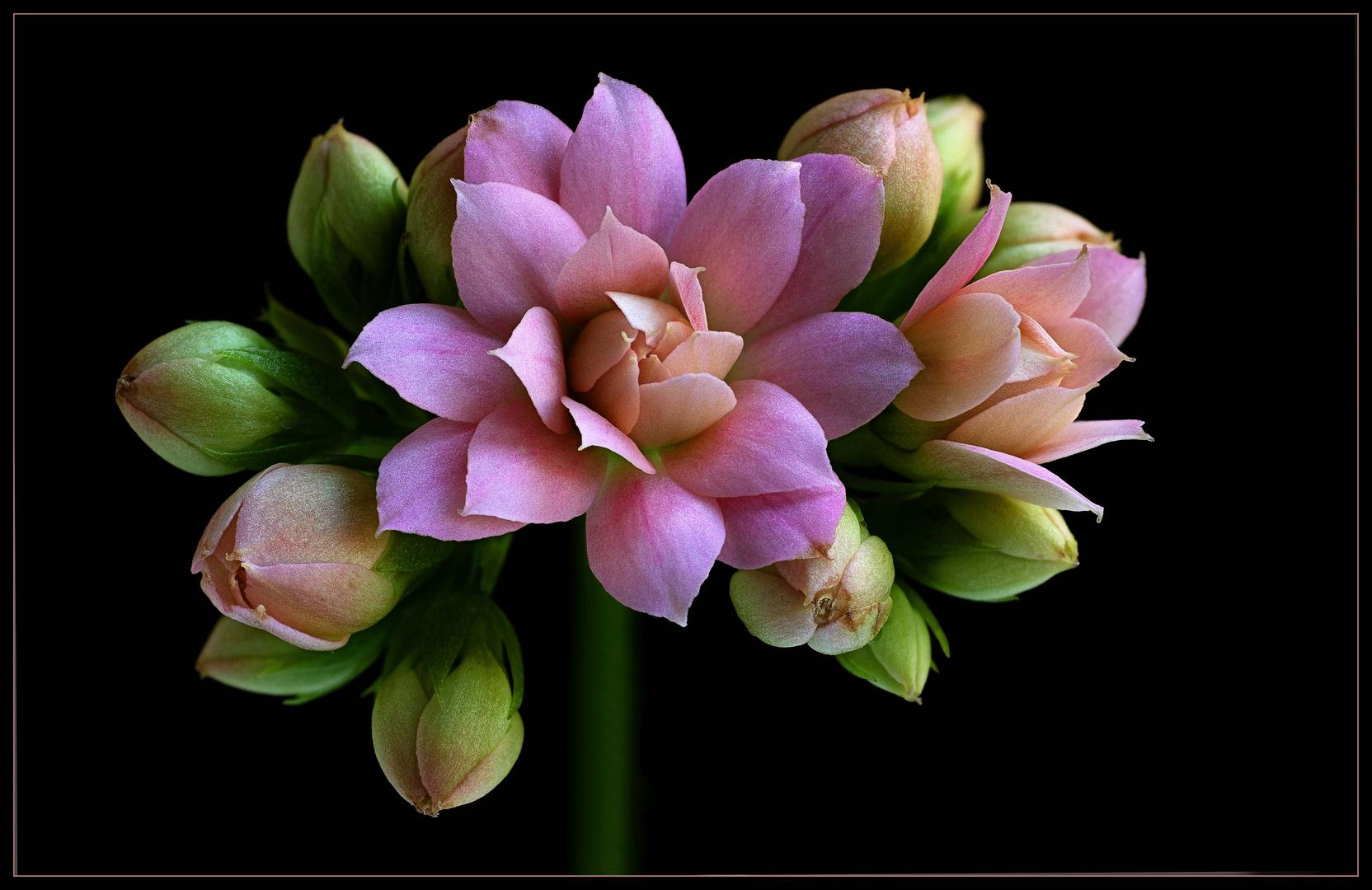 Diese kleine Blume ist ein Star auf unseren ( winterlichen ) Fensterbänken