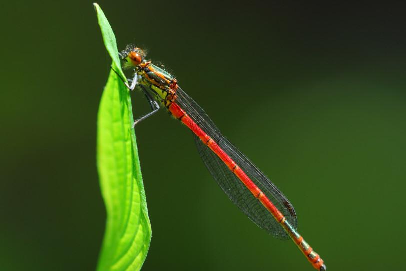 diese kleine Libelle...