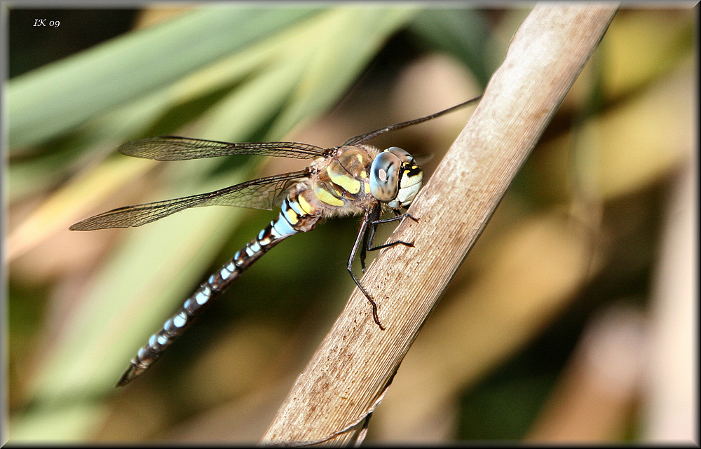 Diese Libelle....