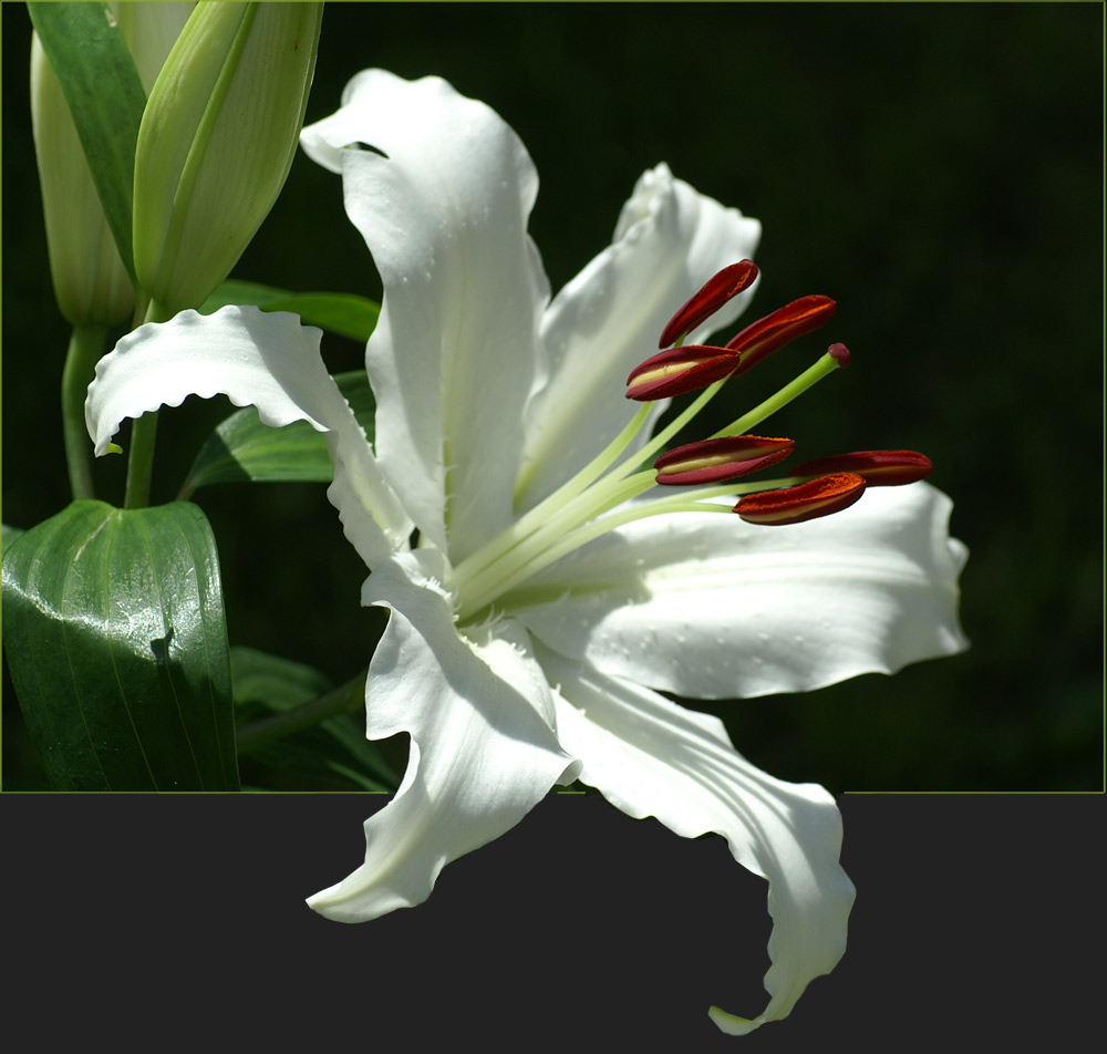 Diese Lilie
