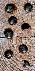 Diese Mauerbienenmännchen ---