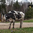 Diese neugierigen Kühe ...