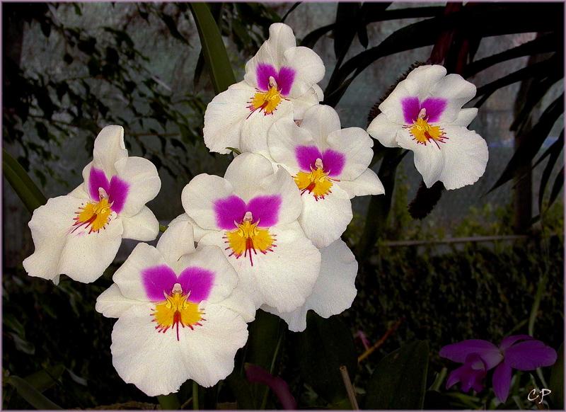Diese Orchidee ...