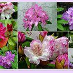 diese Rhododendren ...