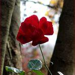 Diese Rose...