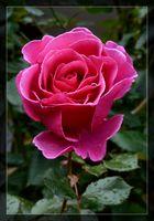 ...# Diese Rose ist nur für Dich........#