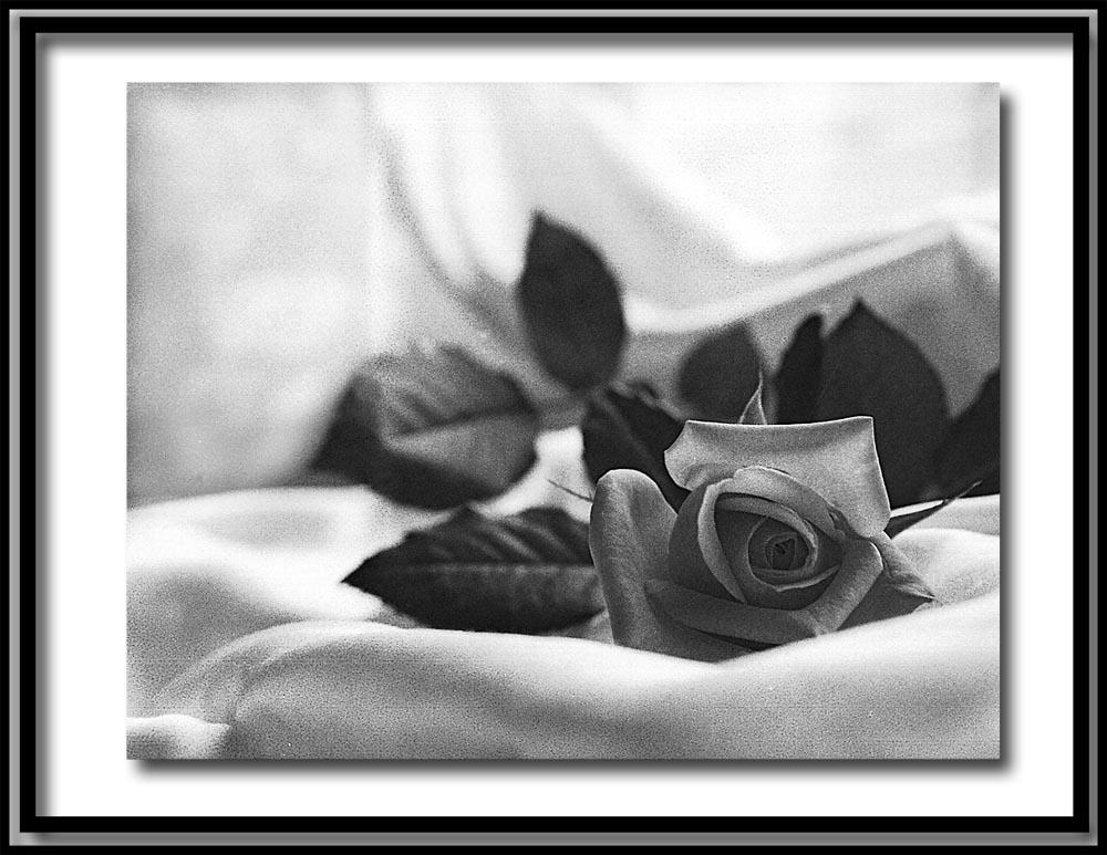diese rose ist nur f r dich foto bild pflanzen pilze flechten bl ten. Black Bedroom Furniture Sets. Home Design Ideas