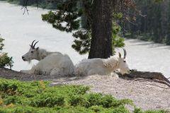 Diese Schneeziegen (Mountain Goats)...