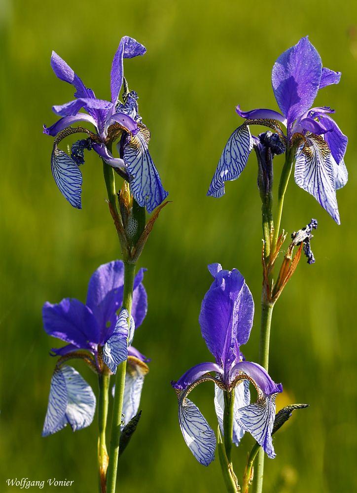 Diese Sibirische Lilien,