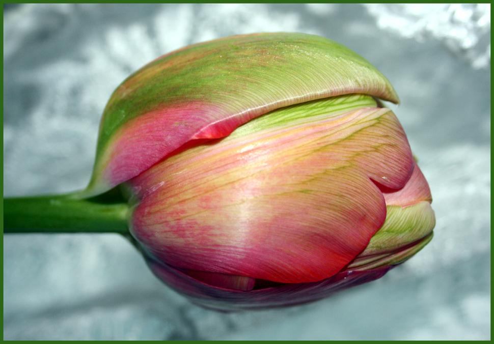 Diese Tulpe ist 70cm hoch