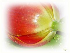 Diese Tulpen ...