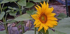 Diese und alle anderen Sonnenblumen haben sich die Vögel...