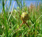 Diese Wespenspinne...