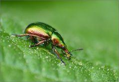Diesen hübschen kleinen Rüsselkäfer ...