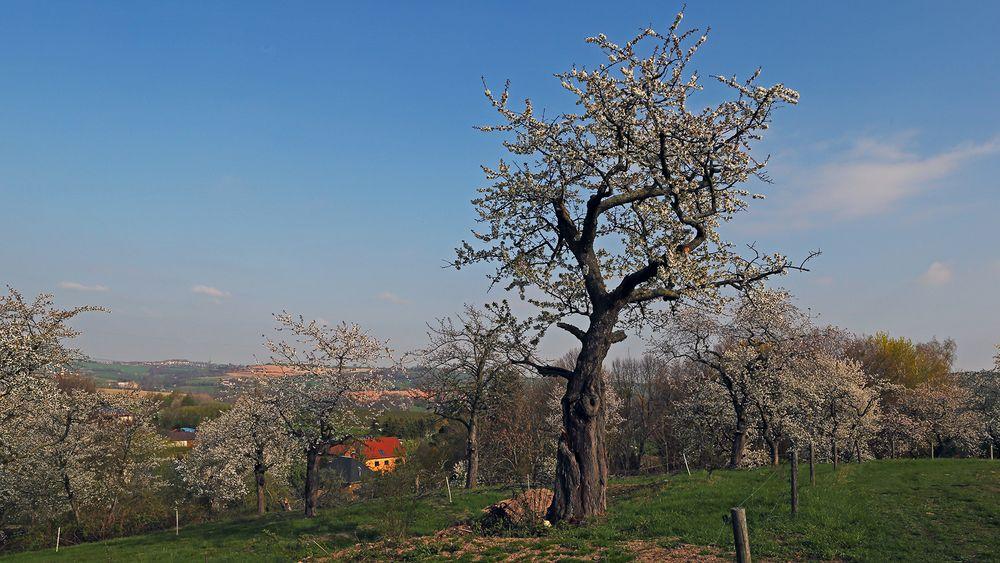 """Dieser Methusalem vom Stamm her, hat das """"Zeug"""" für einen Lieblingsbaum.."""