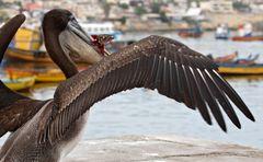 Dieser Pelikan...