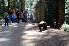 Dieser Schwarzbär ( Ursus americanus)