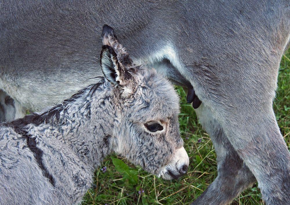 Dieses Eselfohlen hat seine Mutter verloren und wiedergefunden... - La petite qui retrouve sa maman!