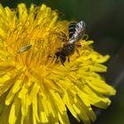 Dieses filigrane niedliche Bienchen genießt ...