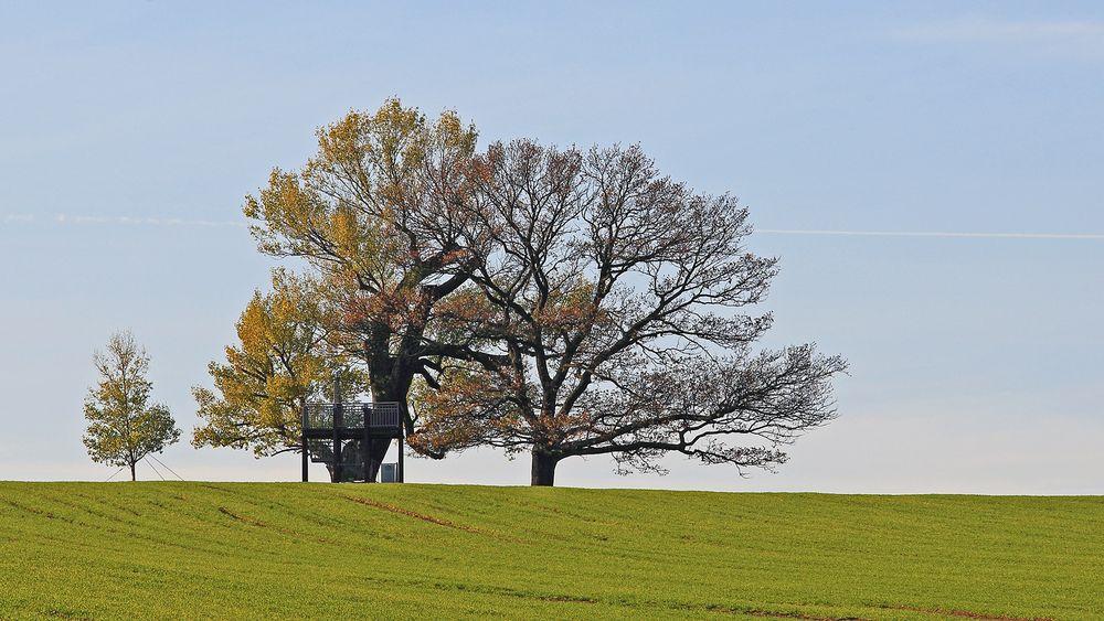 """Dieses gewaltige Naturdenkmal ist als """"Babisnauer Pappel"""" bekannt..."""