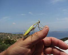Dieses mal keine Mantis religiosa
