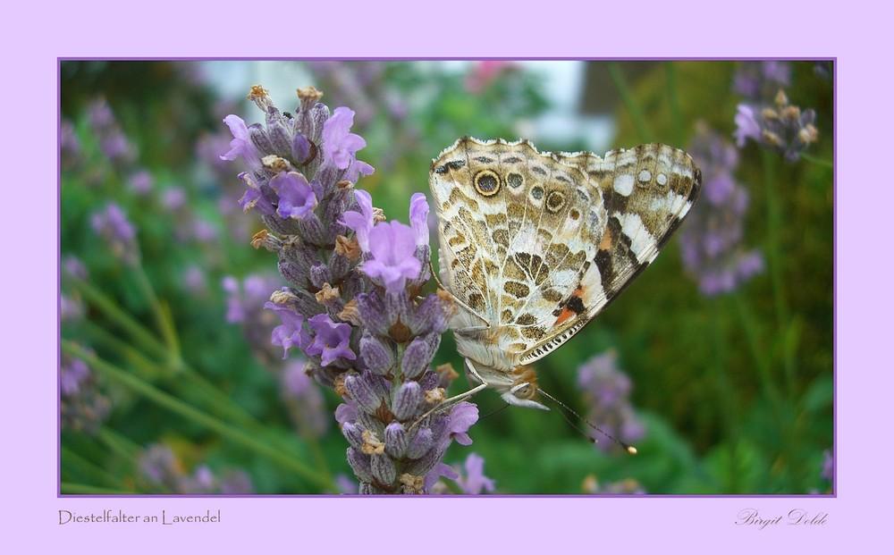 Diestelfalter auf Lavendel