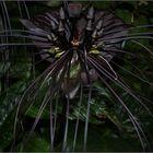 DieThailändische Teufelsblüte oder auch schwarze fledermauspflanze genannt