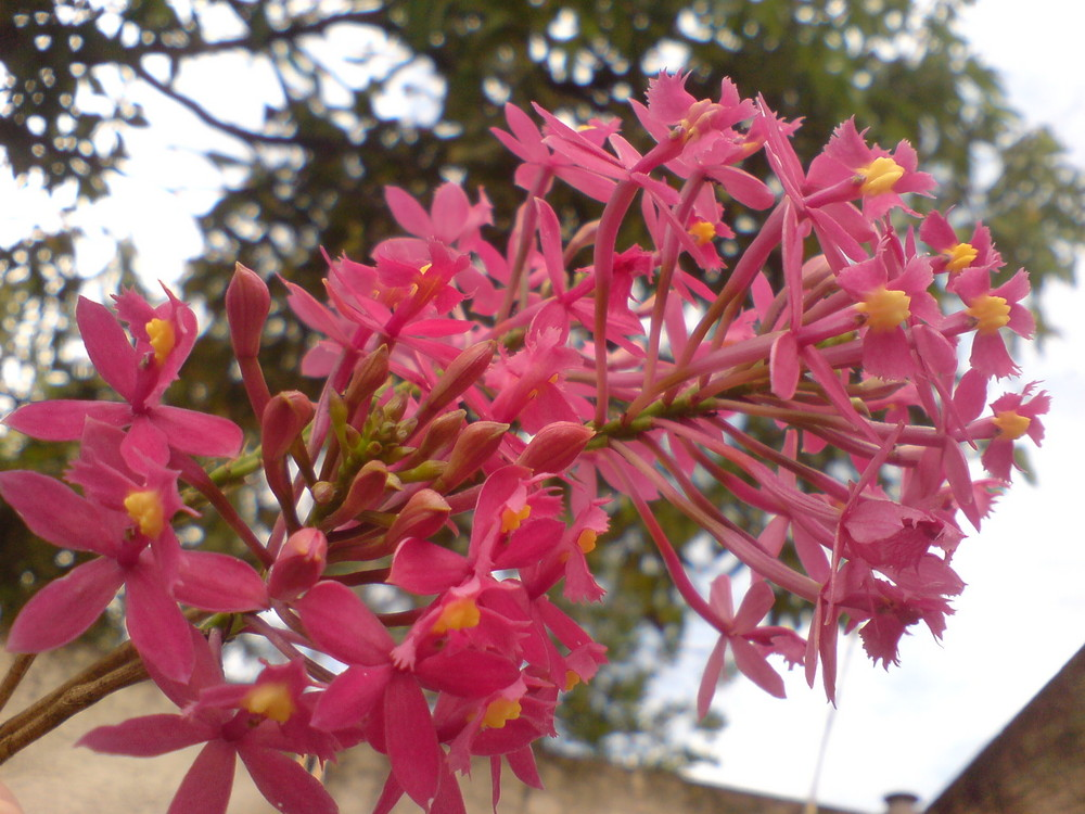 Different Pink Orchid (Oquídea Rosa diferente)
