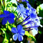 Different Plumbago-Blue-Nuances...........