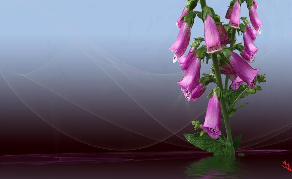 Digitale purpurea......