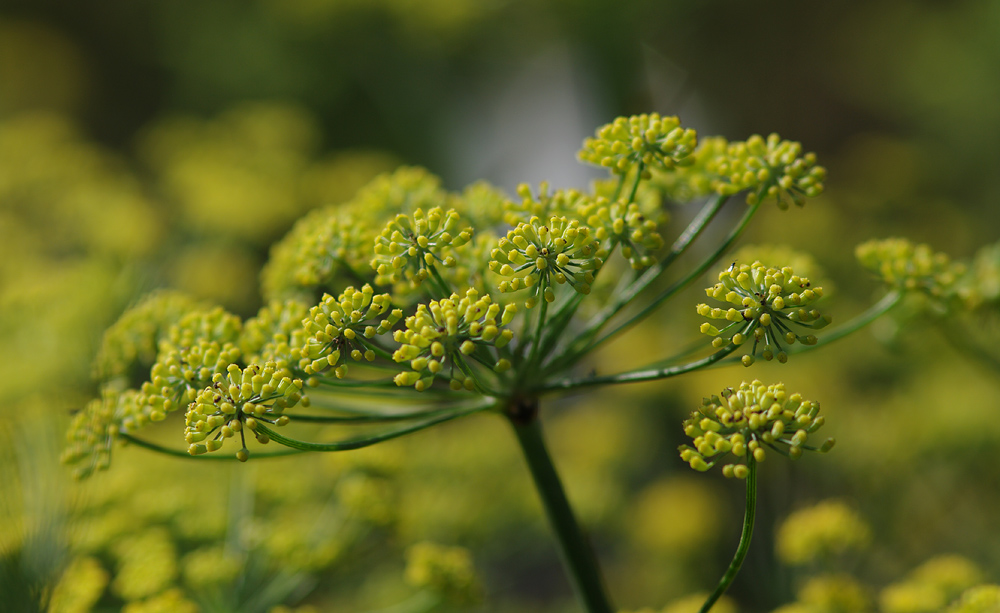 Dill...