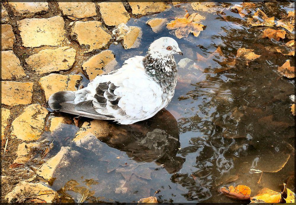 Dimmi specchio mio, c'è  uno altro piccione più bello di me?