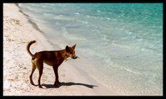 Dingo Paradise