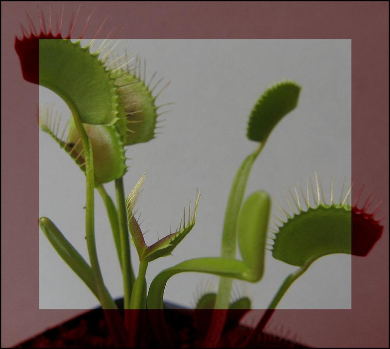 Dionaea muscipula - Jungpflanze