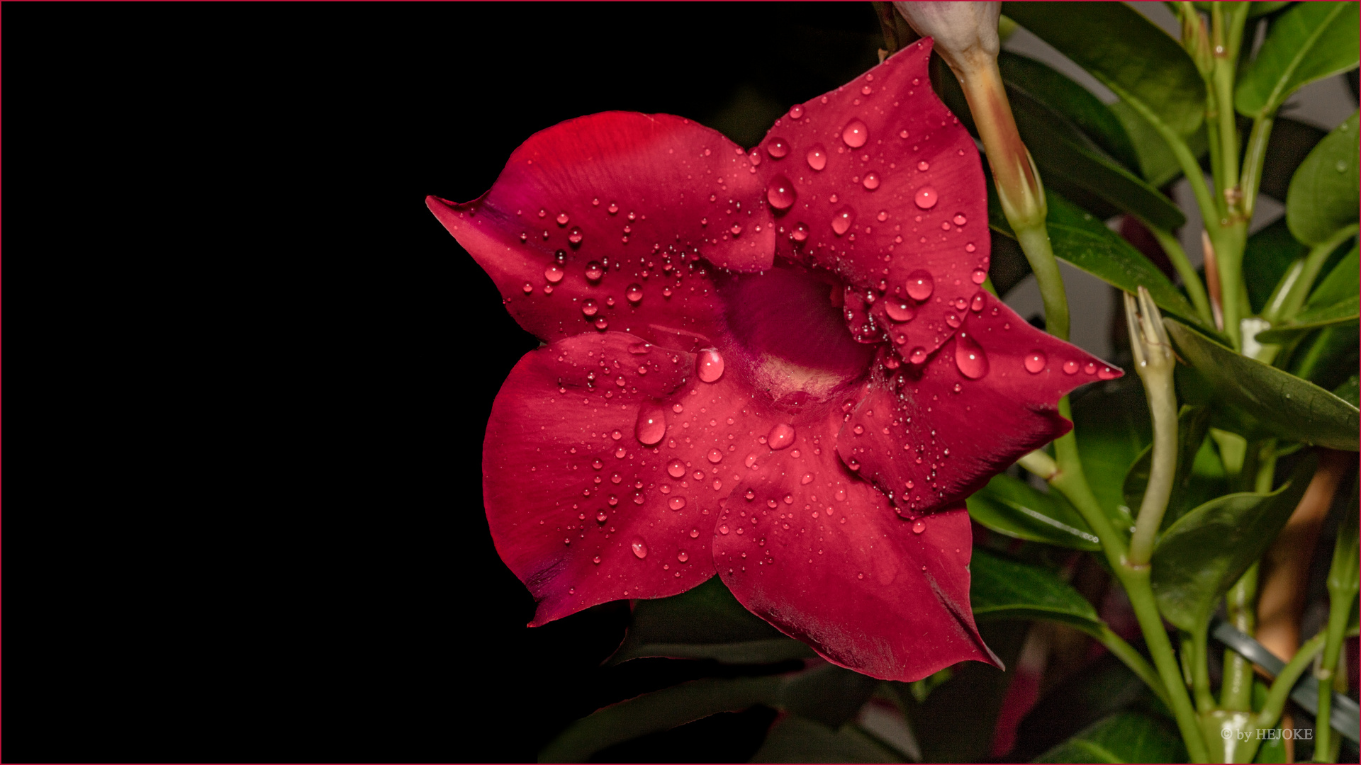 Dipladenia 2 Foto Bild Makro Blume Pflanzen Bilder Auf