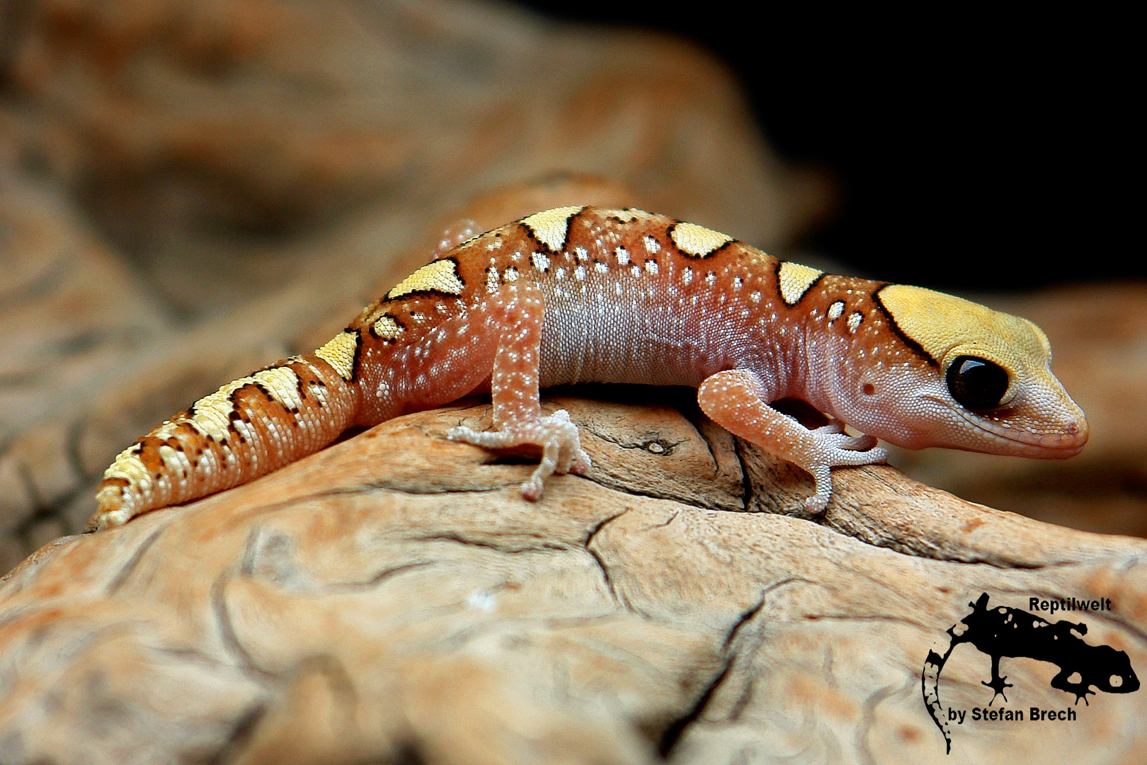 Diplodactylus galeatus