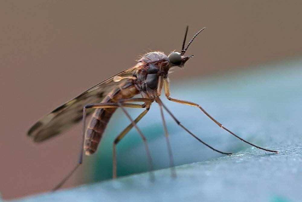 Diptera, Anisopodidae, Sylvicola