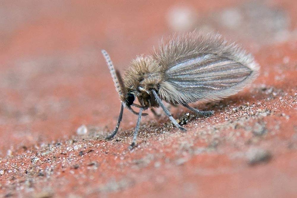 Diptera, Psychodidae, Psychoda sp.