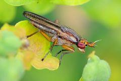 Diptera, Sciomyzidae, Limnia