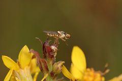 Diptère (mouche) de très petite taille