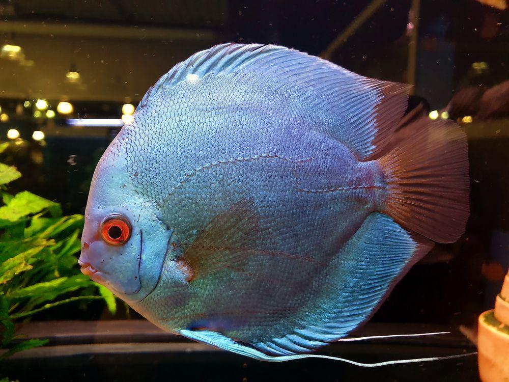 discus fisch foto amp bild natur tiere aquarium bilder