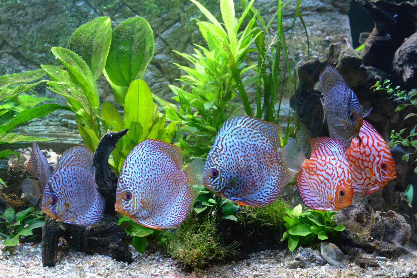 Diskusfische Amazonas 5
