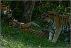 Diskussion unter Tigern