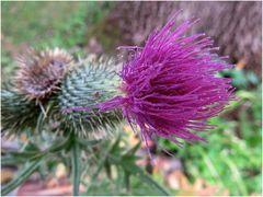 Distel - Blüte