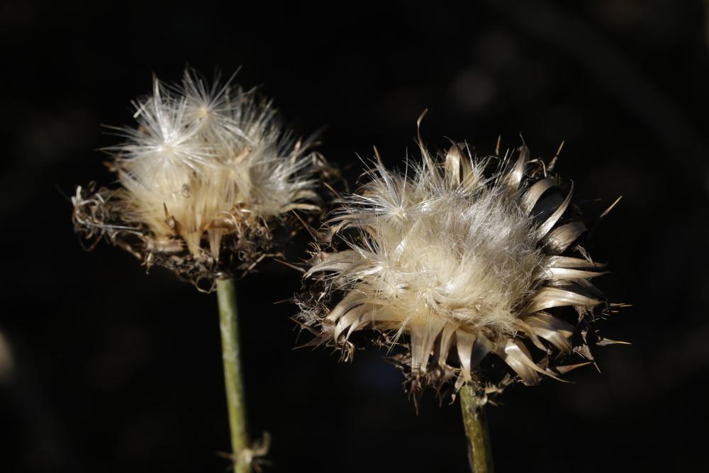 Distelblüte im Herbst