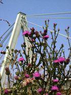 Distelblüten am Ufer der Severinsbrücke